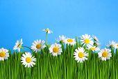 Fresh daisies on blue background. Summer flower