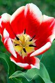 Tulip Red White Flower In Bloom