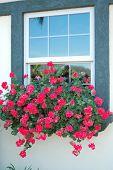 Red Flowers On Window