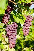 grapevine in vineyard (gewurztraminer), Alsace, France