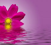 stock photo of beautiful flower  - Beautiful flower with reflection on water  - JPG