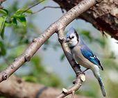 Blue Jay In An Apple Tree
