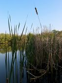 reeds in a pond