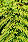 Close-up of native green fern in rainforest