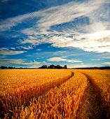 stock photo of windy weather  - Dramatic view of wheat fields in stormy weather - JPG