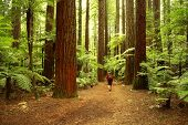 picture of redwood forest  - Tramper in redwood forest - JPG