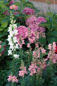 Snapdragons And Hydrangea
