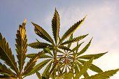 Cannabis High Quality. Marijuana. Hemp. Cannabis, Good Background. Cannabis Leaf On Blurred Backgrou poster