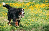 Farm Dog Bernese Mountain Dog Berner Sennenhund Play Outdoor In Green Spring Meadow With Yellow Flow poster