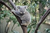 The Young Joey Koala Is Climbing Down A Tree poster