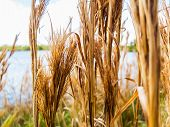 Dry Weeds On A Field With A Lake In The Background. Dry Golden Weeds On A Lake In A Public Park. poster
