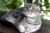 Gray British Shorthair. Portrait Of British Shorthair Cat Lying On A Green Background poster