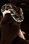 Brown Boa Constrictor in Man's Hand over Black