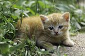 An Adorable Little Red Kitten Playing Outdoor. Portrait Of Red Kitten In Garden. poster