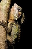 Boyd's Forest Dragon beautiful lizard of Daintree rainforest Queensland Australia Cape tribulation t