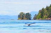 Humpback whale near Vancouver Island, Canada