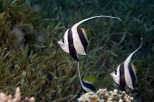 Schooling Bannerfish (Heniochus Diphreutes)