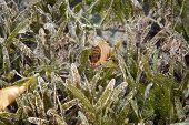 Blacktip Grouper Juv. (Epinephelus Fasciatus)