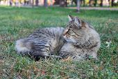Beautiful Purebred Maine Coon Grey Tabby Cat Lying In Deep Green Grass poster