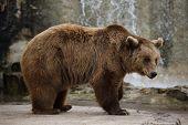 Brown bear (Ursus arctos). Wild life animal. poster