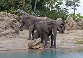 Elephants Watering