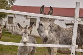Pair Of Donkeys Behind The Bars Of The Fence poster