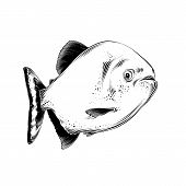 Vector Drawing Of Fish In Black Color, Isolated On White Background. Graphic Illustration, Hand Draw poster