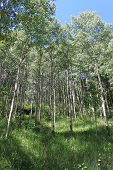 Aspen Grove Summer Verticle