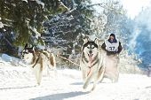 stock photo of sled-dog  - Sled dog racing  - JPG