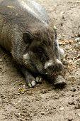 Fat Little Piggy