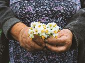 Gardeners Hands Planting Flowers. Hand Holding Small Flower In The Garden. Hand Holding Potato Flowe poster