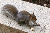 Silver-Tail Gray Squirrel