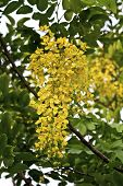stock photo of vishu  - view of golden shower tree flowers in summer - JPG