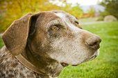 Sweet Old Hunting Dog