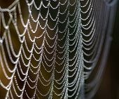 Spider Net With Water Drops
