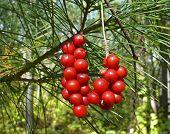Berries Of Primorye