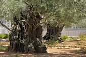 foto of gethsemane  - Garden of Gethsemane on the Mount of Olives - JPG