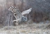 stock photo of owls  - Ural Owl flying into the forest.