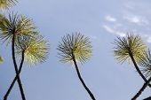 Conifer Over Sky - Like Palms poster