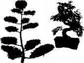 rubber plant bonsai