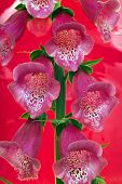Foxglove Flower Blossoms