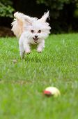 stock photo of maltipoo  - Portrait of maltipoo dog playing with ball in field - JPG