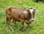 Brown Cow On The Grass