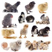 picture of bantams  - group of bantam silkie on a white background - JPG