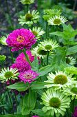 pic of zinnias  - Beautiful pink zinnia flowers blooming in green garden
