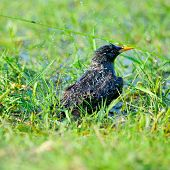 colorful starling bird outdoor (sturnus vulgaris)
