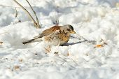 thrush in winter (Turdus Obscurus)