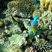 underwater image of tropical fishes (bullethead parrotfish - scarus chlorurus sordidus)
