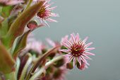 Houseleek Inflorescence