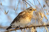 foto of brown thrush  - thrush on branch in winter  - JPG